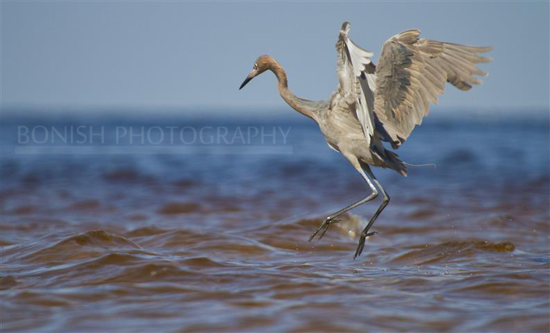 Tri-Colored Heron, Bird, Bonish Photography