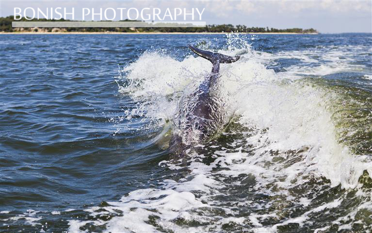 Dolphin, Wake, Jumping, Bonish Photography, Cedar Key