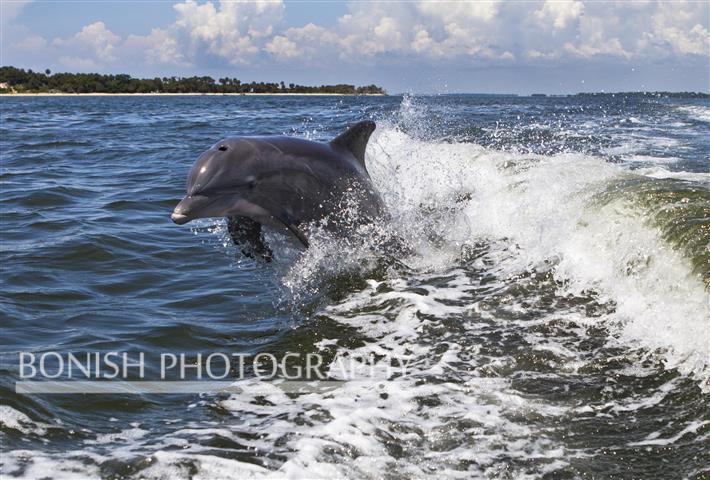 Dolphin, Jumping Dolphin, Florida, Bonish Photography, Cedar Key