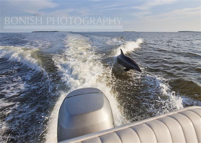 Dolphin, Boat Wake, Jumping Dolphin, Bonish Photography, Cedar Key