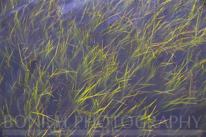 Sea Grass, Bonish Photography, Gulf of Mexico
