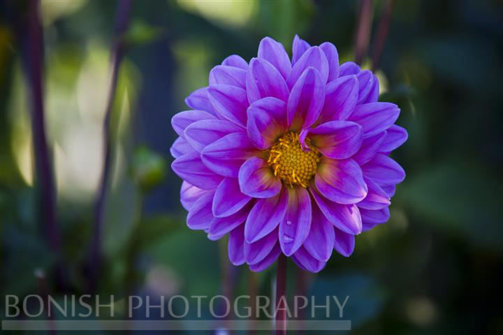 Dahila Bloom, Flower, Purple, Bonish Photography