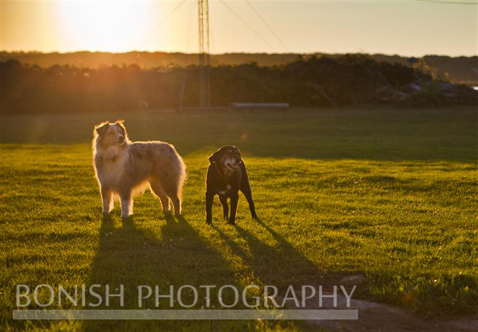 Dogs, Sunset, Goat Island, Maine, Bonish Photo