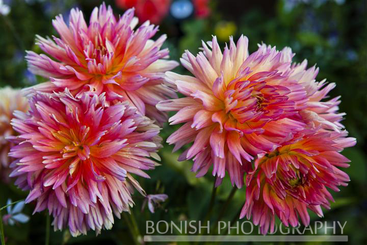 Pink Dahlia, Flowers, Bloom, Bonish Photo