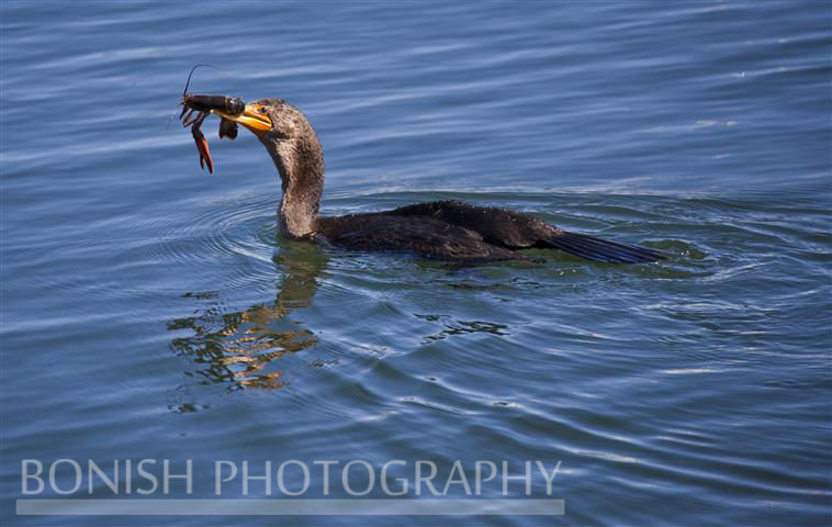 Bird, Cormorant, Lobster, Maine, Bonish Photo