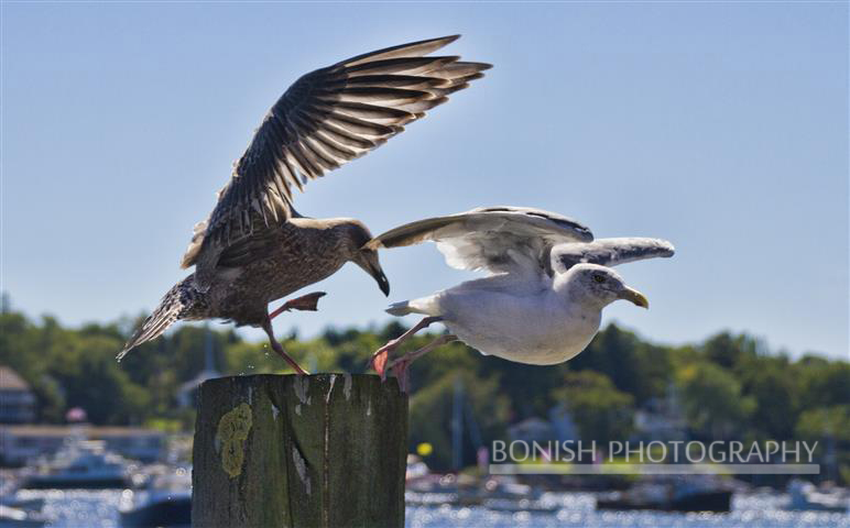 Gulls, Maine, Boothbay, Bonish Photo, Birds
