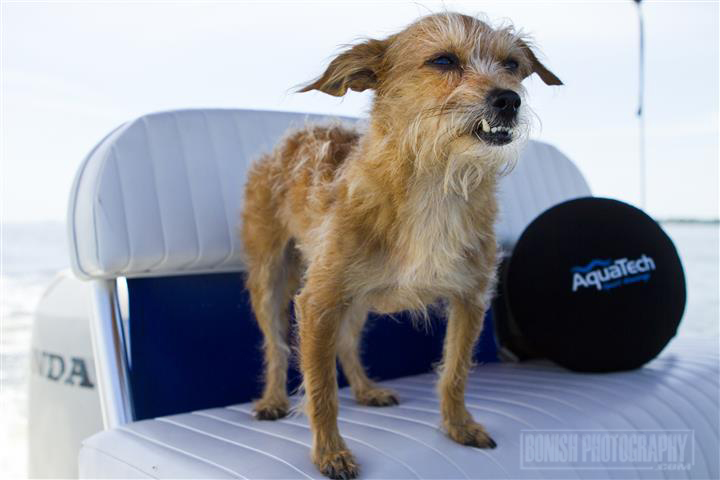 Chorkie, Dog, Boat Dog, Rescue Dog, Bonish Photo