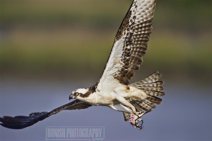 Osprey, Bird Photography, Bonish Photo