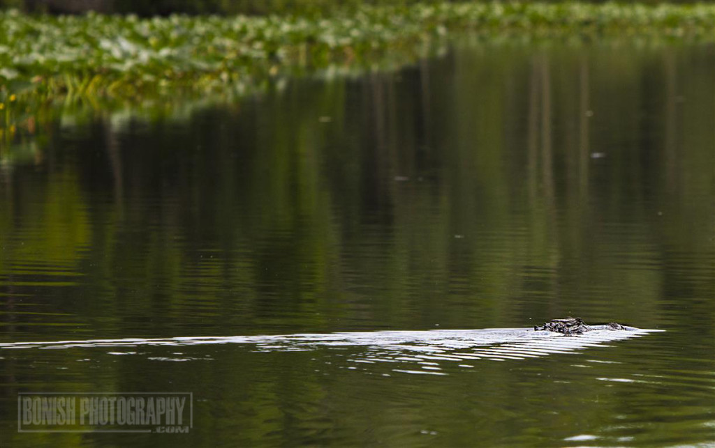 Alligator, Animal, Suwannee River, Bonish Photo