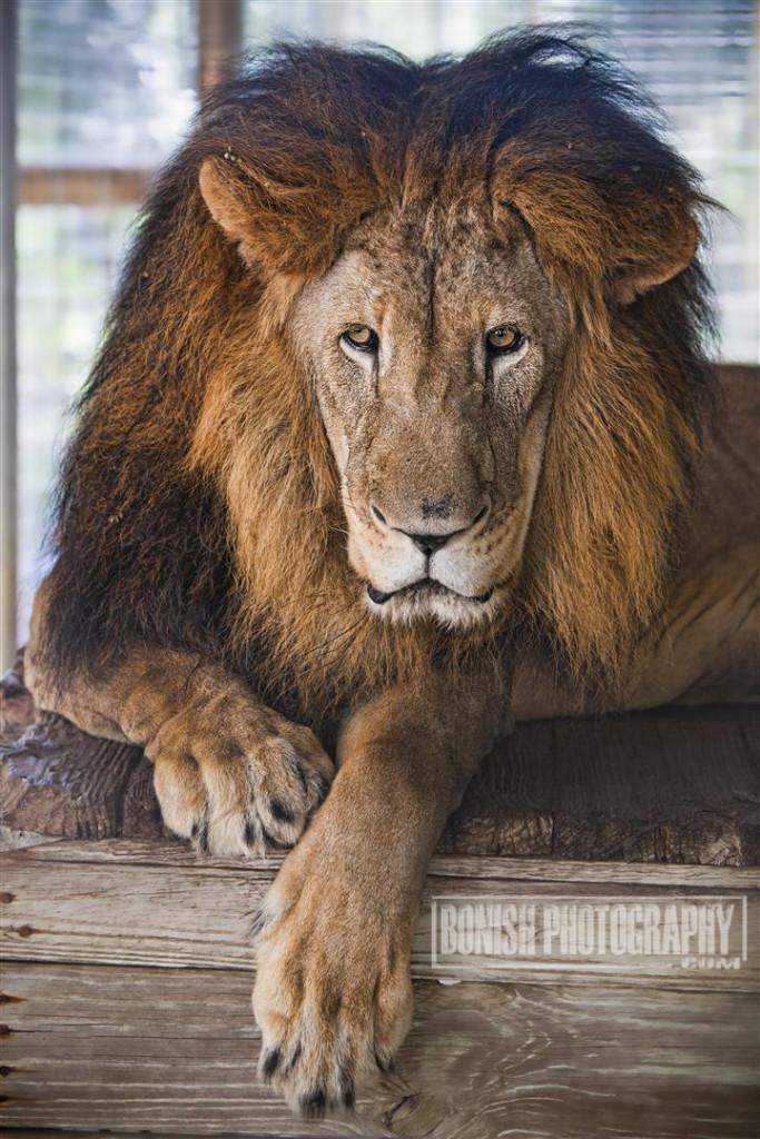 Barbary Lion, E.A.R.S., Animal Sanctuary, Bonish Photo, Animal Rescue