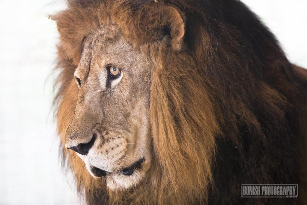 Barbary Lion, Animal Sanctuary, E.A.R.S., Bonish Photo, Rescue Animals
