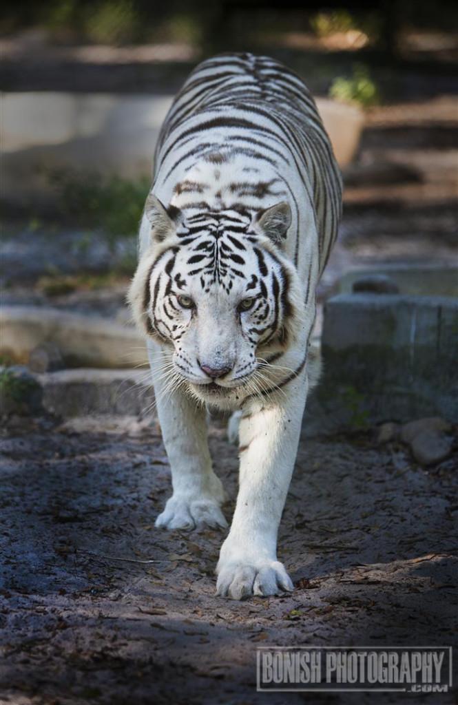 Tiger, White Tiger, Animal Sanctuary, Animal Rescue, E.A.R.S., Bonish Photo