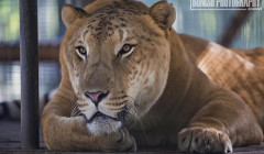 Liger, E.A.R.S., Animal Sanctuary, Animal Rescue, Big Cat Rescue, Bonish Photo