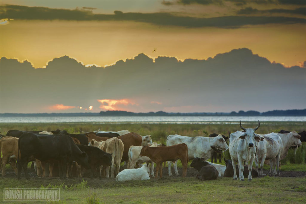 Cattle Ranch, Florida Cattle Rancher, Lightsey Cattle Company, Bonish Photo