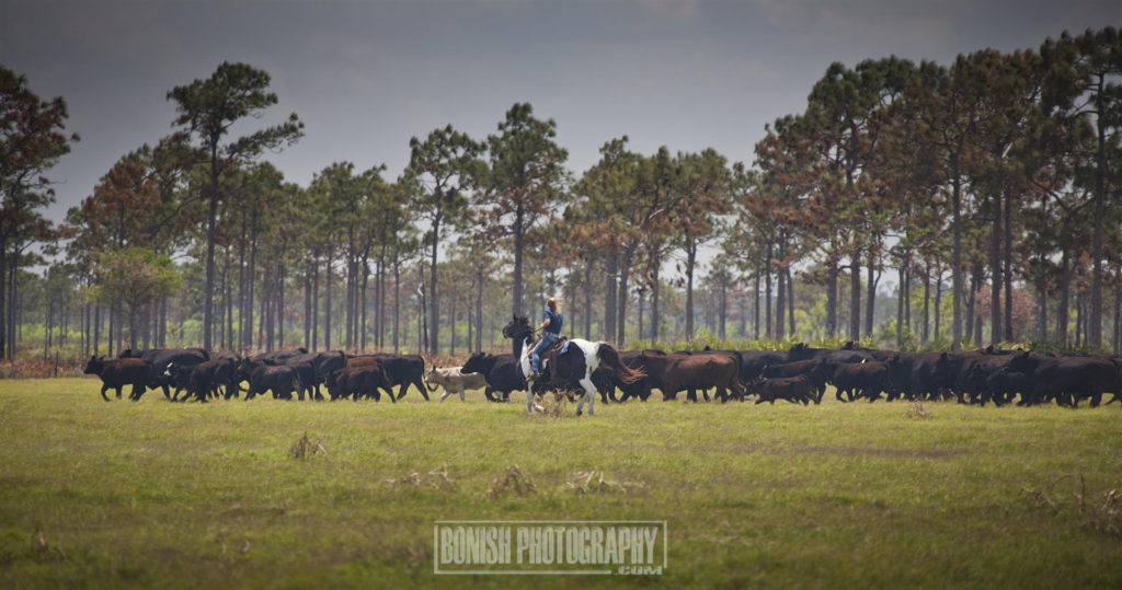 Lightsey Cattle Company, Cattle Drive, Florida Cattle Ranchers, Bonish Photo