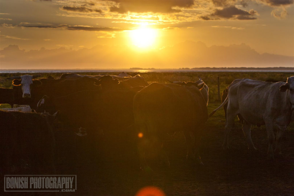 Swamp Cattle, Lightsey Cattle Company, FLorida Cattle Ranchers, Bonish Photo