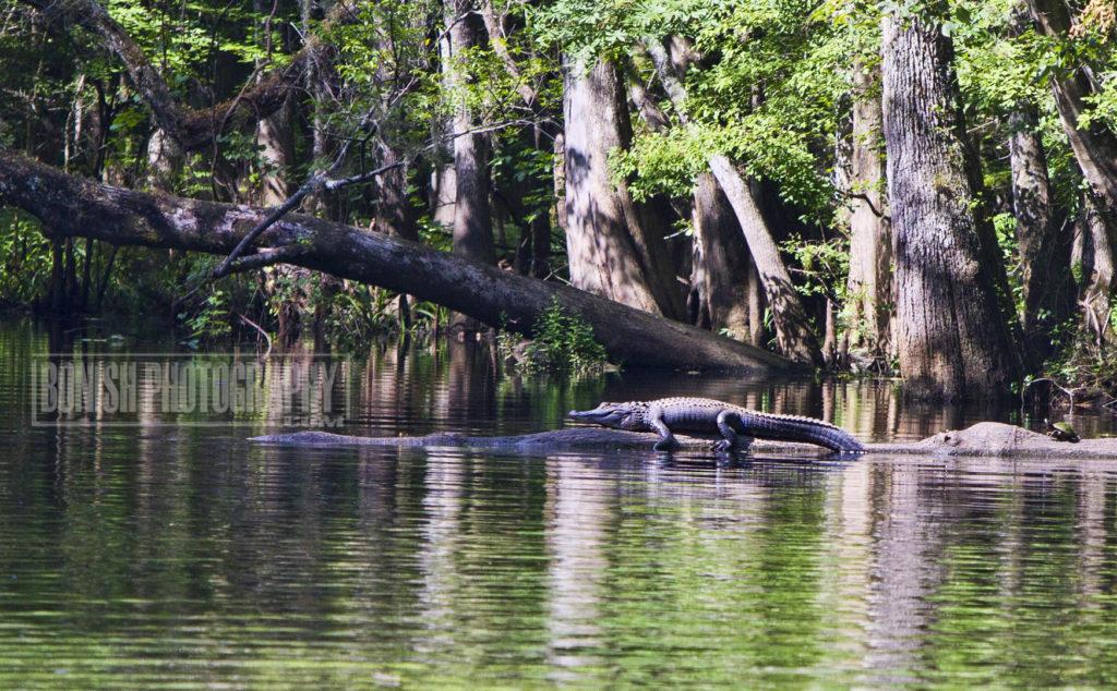 Alligator, Suwannee River, Bonish Photo