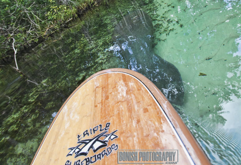 Manatee, Weekie Wachee River, Stand Up Paddle, Bonish Photo