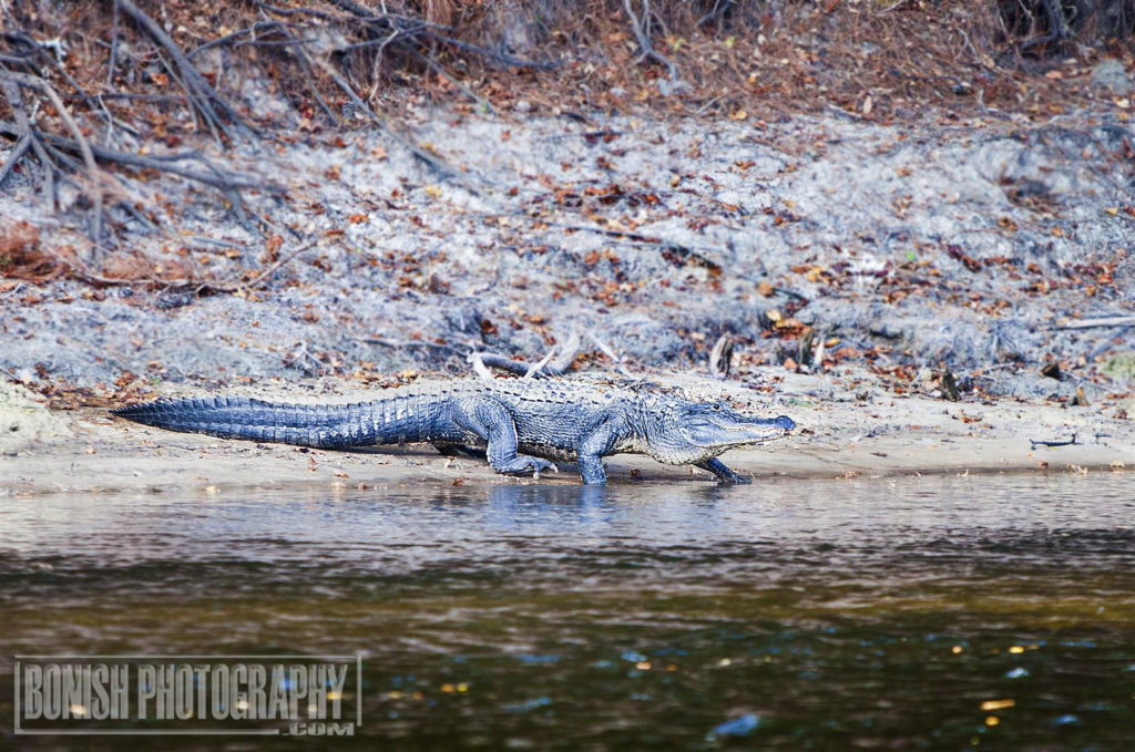 Florida Alligator, Bonish Photo, Suwannee River