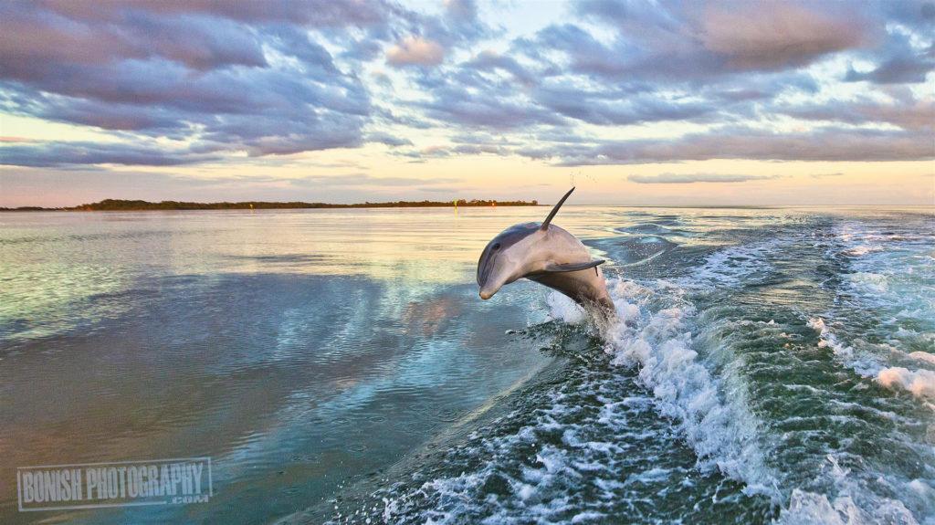 Cedar Key, Dolphin, Bonish Photo, Every Miles A memory