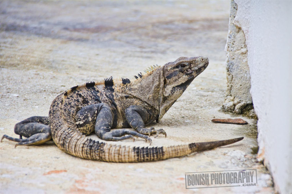 Iguana, Mexico, Bonish Photo, Every Miles A Memory
